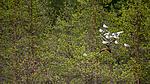 KA_160625_8 / Chroicocephalus ridibundus / Hettemåke