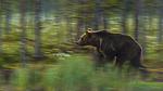 KA_160626_1 / Ursus arctos / Brunbjørn