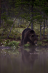 KA_160626_150 / Ursus arctos / Brunbjørn