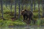 KA_160626_2 / Ursus arctos / Brunbjørn