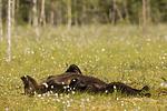 KA_160626_314 / Ursus arctos / Brunbjørn