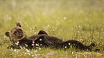 KA_160626_318 / Ursus arctos / Brunbjørn