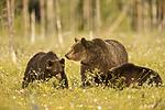 KA_160626_381 / Ursus arctos / Brunbjørn