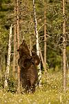 KA_160626_464 / Ursus arctos / Brunbjørn