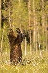 KA_160626_496 / Ursus arctos / Brunbjørn