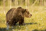 KA_160626_538 / Ursus arctos / Brunbjørn