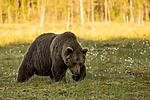 KA_160626_547 / Ursus arctos / Brunbjørn