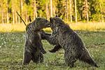 KA_160626_563 / Ursus arctos / Brunbjørn