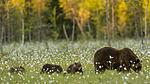 KA_160626_598 / Ursus arctos / Brunbjørn