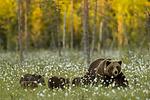 KA_160626_601 / Ursus arctos / Brunbjørn
