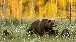 KA_160626_605 / Ursus arctos / Brunbjørn