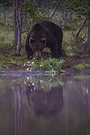 KA_160626_95 / Ursus arctos / Brunbjørn