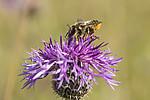 KA_160708_31 / Centaurea scabiosa / Fagerknoppurt <br /> Megachile lagopoda / Storbladskjærerbie