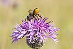 KA_160708_32 / Centaurea scabiosa / Fagerknoppurt <br /> Megachile lagopoda / Storbladskjærerbie