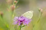 KA_160722_105 / Centaurea jacea / Engknoppurt <br /> Pieris brassicae / Stor kålsommerfugl