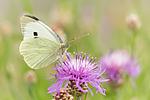 KA_160722_110 / Centaurea jacea / Engknoppurt <br /> Pieris brassicae / Stor kålsommerfugl