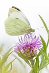 KA_160722_113 / Centaurea jacea / Engknoppurt <br /> Pieris brassicae / Stor kålsommerfugl