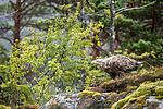 KA_160816_180 / Haliaeetus albicilla / Havørn