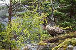 KA_160816_181 / Haliaeetus albicilla / Havørn
