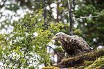 KA_160816_185 / Haliaeetus albicilla / Havørn