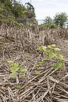 KA_170619_23 / Reynoutria japonica / Parkslirekne