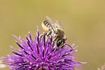 KA_170724_35 / Centaurea scabiosa / Fagerknoppurt <br /> Megachile lagopoda / Storbladskjærerbie