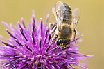 KA_170724_37 / Centaurea scabiosa / Fagerknoppurt <br /> Megachile lagopoda / Storbladskjærerbie