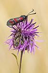 KA_170724_40 / Centaurea scabiosa / Fagerknoppurt <br /> Zygaena filipendulae / Seksflekket bloddråpesvermer