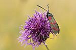 KA_170724_41 / Centaurea scabiosa / Fagerknoppurt <br /> Zygaena filipendulae / Seksflekket bloddråpesvermer