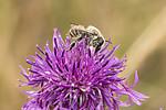 KA_170724_42 / Centaurea scabiosa / Fagerknoppurt <br /> Megachile lagopoda / Storbladskjærerbie