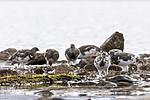 KA_170924_221 / Lagopus muta / Fjellrype