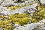 KA_170924_247 / Lagopus muta / Fjellrype