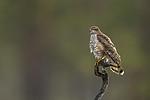 KA_171014_57 / Accipiter nisus / Spurvehauk