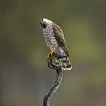 KA_171014_61 / Accipiter nisus / Spurvehauk