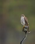 KA_171014_71 / Accipiter nisus / Spurvehauk