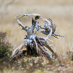 KA_171015_141 / Accipiter nisus / Spurvehauk