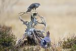 KA_171015_235 / Accipiter nisus / Spurvehauk