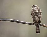 KA_171015_253 / Accipiter nisus / Spurvehauk