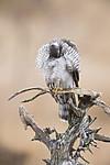 KA_171015_305 / Accipiter nisus / Spurvehauk