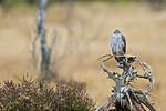 KA_171015_311 / Accipiter nisus / Spurvehauk