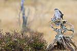 KA_171015_334 / Accipiter nisus / Spurvehauk