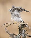 KA_171015_337 / Accipiter nisus / Spurvehauk