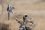 KA_171015_36 / Accipiter nisus / Spurvehauk