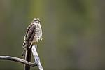 KA_171015_7 / Accipiter nisus / Spurvehauk