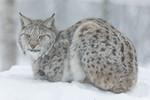 KA_171230_104 / Lynx lynx / Gaupe