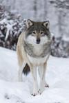 KA_171230_11 / Canis lupus / Ulv