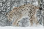 KA_171230_110 / Lynx lynx / Gaupe