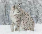 KA_171230_115 / Lynx lynx / Gaupe