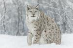 KA_171230_116 / Lynx lynx / Gaupe