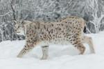 KA_171230_118 / Lynx lynx / Gaupe